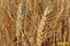 近期小麦价格会不会持续下滑