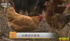 [农广天地]贵州长顺绿壳蛋鸡养殖技术视频