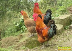 养殖土鸡如何销售?
