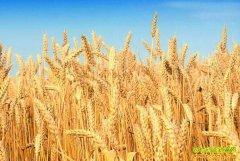 开学季小麦价格明显上涨 专家预测未来小麦行情走势