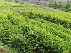 四川泸州大石村:山坡种砂仁 亩入三千元