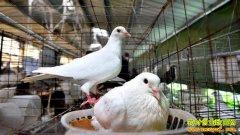 广西南宁余长势返乡养鸽创业成致富能手