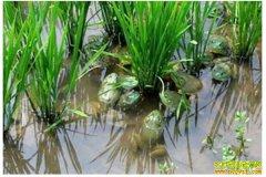 四川泸州团山村明祖京返乡创业养青蛙