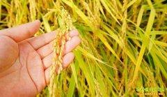 早稻价格稳中有降 专家预测今年水稻价格降幅不会太大