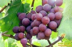 葡萄价格总体较好 分析师建议近期葡萄最好能卖就卖