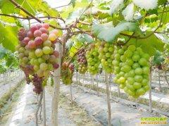 葡萄大量上市 价格逐渐走低 今年种葡萄能赚钱吗?
