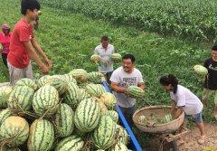 西瓜采摘后种植什么效益好?瓜农一定要收藏!