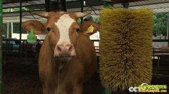 [致富经]广西上林县清华博士杨远澄养牛 一斤牛肉售价298元