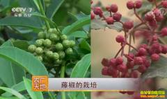 [农广天地]藤椒种植技术视频