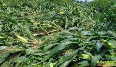 [农广天地]玉米倒伏原因与预防技术视频