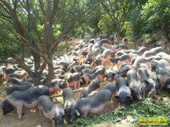 生态养猪有钱赚成未来发展方向
