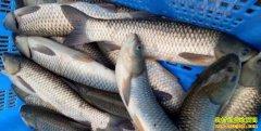 南方部分地区开渔价格走高 北方天热淡水鱼市场遇冷
