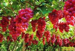 四十亩葡萄只产四万斤为何能卖百万元?