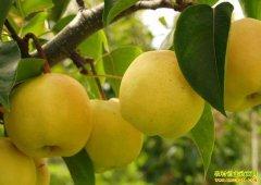 [农广天地]黄冠梨优质种植技术视频