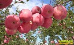 [农广天地]苹果三优一体化栽培模式