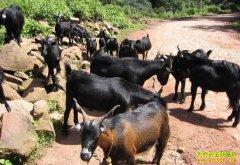 四川乐至县邱林智养殖黑山羊网上卖羊年收入5万多