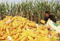 """玉米行情涨涨涨!今年玉米价格""""高开高走""""能持续多久?"""