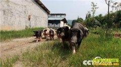 江西乐安县蔡立群44岁再创业养殖乐安花猪年销800万