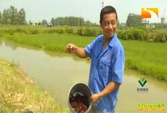 """致富项目:湖北赤壁周亮虾稻套养 效益""""双赢""""年收益40万"""