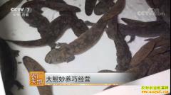[农广天地]大鲵妙养巧经营 娃娃鱼人工养殖技术视频