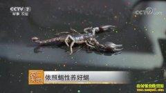 [农广天地]山东济宁方程依照蝎性养蝎子年入200多万元