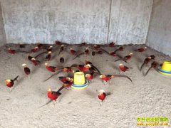 内蒙古赵宝刚:观赏珍禽与食用家禽混着养 价格互补年入15万