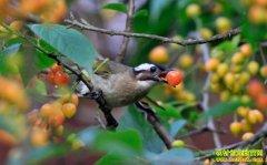 果园怎样防鸟?让果园告别鸟害 这几招非常好用
