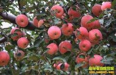 苹果着色不好是什么原因?