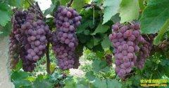 葡萄成熟期管理技术要点