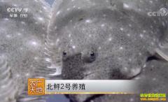 [农广天地]北鲆2号牙鲆鱼养殖技术视频