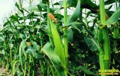 种植玉米效益如何?新玉米即将上市 长期看玉米市场将迎来利好