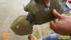 [每日农经]咬人的甲鱼养殖能多赚钱
