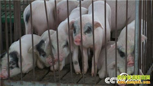[致富经]重庆荣昌郭平养殖熊猫猪迎来爱情又赚钱