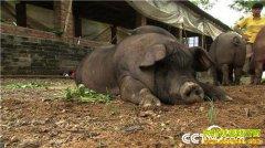 [致富经]连赔7年后 生猪行情下跌 广东连州黎海生养猪却赚快钱