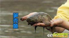 [致富经]广东东莞黄邦强养怪鱼 蔫了吧唧赚大钱
