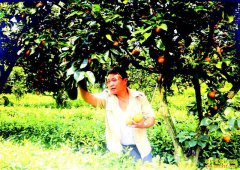 四川泸州许茂平茶园套种黄花梨效益好