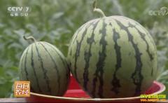 [每日农经]剥皮吃的小西瓜惹人爱