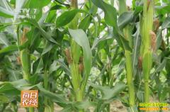 [每日农经]种植这种小玉米一亩地净赚4000元