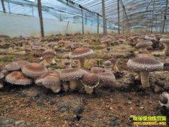 山东单县周烁、周深兄弟大棚种香菇种成大产业