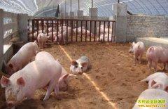 发酵床养猪或成未来养殖好模式