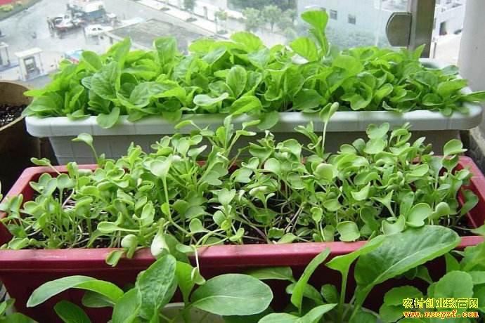 家庭微农业走进阳台屋顶 或成朝阳产业 未来前景好
