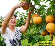 广东连州甘露梨种植效益好 一个梨重近3斤错峰上市不愁销