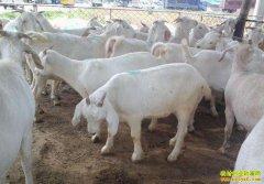 安徽太和县王清松养羊增收助脱贫