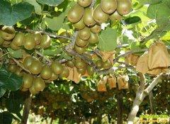 猕猴桃新鲜上市 今年猕猴桃价格行情如何?
