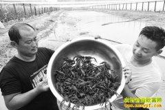 山东阳谷县17岁小伙杨广义回乡创业养殖小龙虾效益高