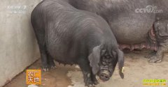 [农广天地]陕西汉江黑猪养殖技术视频