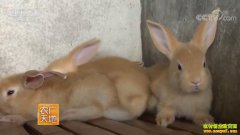 [农广天地]福建连城吕高铭和赖洪梅养殖福建黄兔发兔财