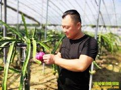 山东定陶小伙冉刘保大棚种植火龙果每亩净赚3万元