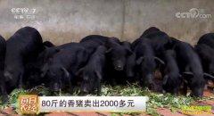 [每日农经]80斤的香猪卖出2000多元 养殖荣昌猪效益高