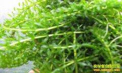 四川苍溪县罗尹巧用伊乐藻养殖小龙虾长得好
